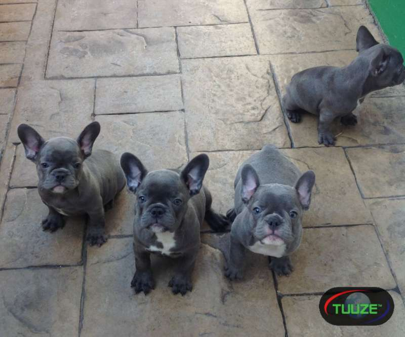 Purebred Blue French Bulldog Puppies