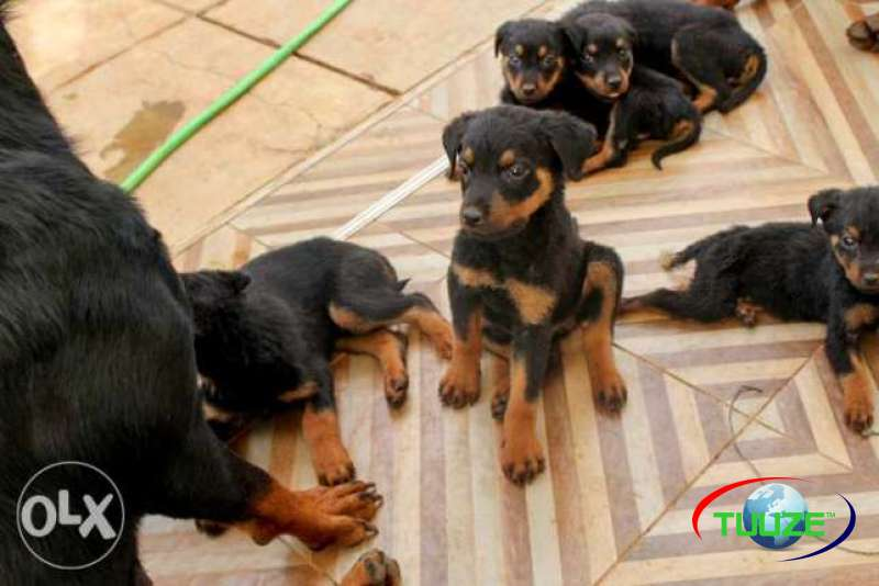Rottweiler Pure Breed Puppies