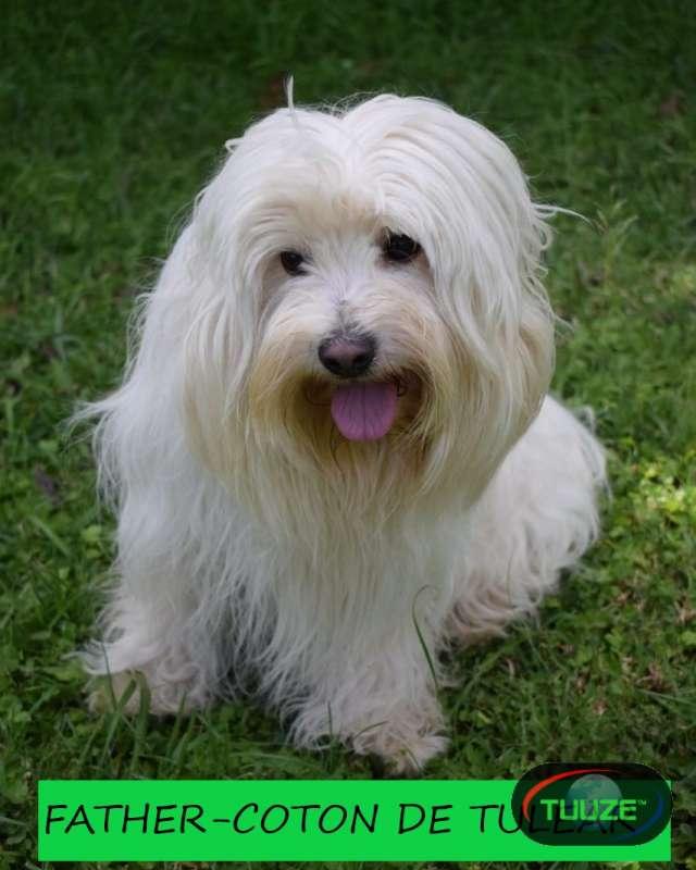 Maltese Coton de Tulear puppies for sale