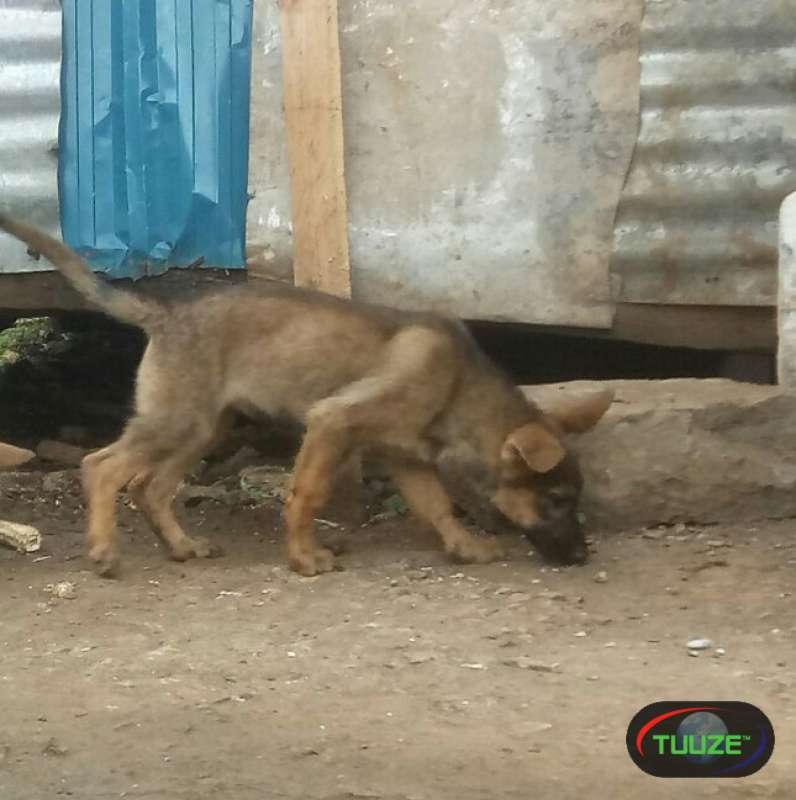 Sable male puppy
