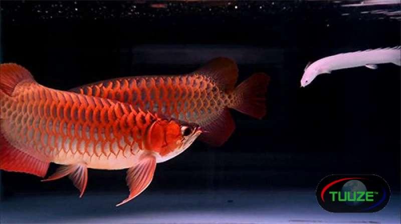 Super Red Arowana Albino Stingray fish for sale