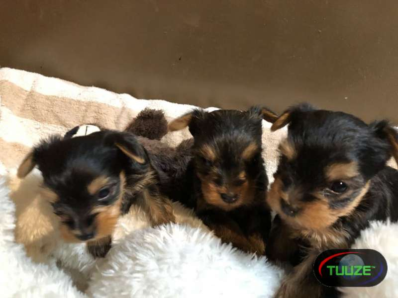 best loving and sweet    Yorkie    pups now Sweet mal